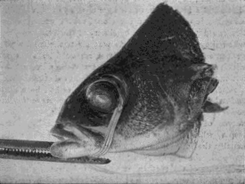 Demonstration Upon the Eye of a Fish That the Production of Myopic and Hypermetropic Refraction Is Dependent Upon the Action of the Extrinsic Muscles