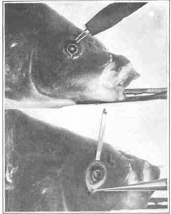 An experiment on the eye of a carp demonstrating that the lens is not a factor in accommodation
